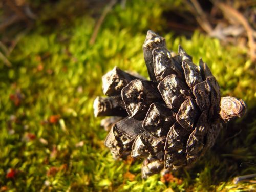 pine cone cone conifer cone