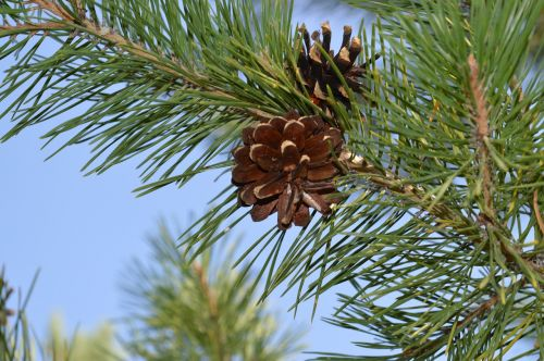 pine cone tree branch
