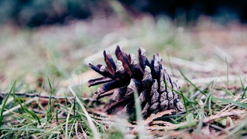pine cone ground grass