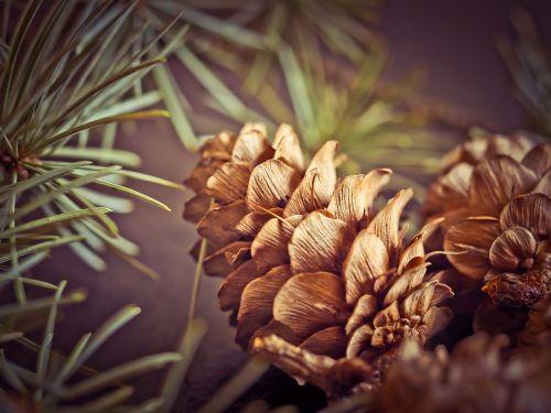 pine cones fir tap
