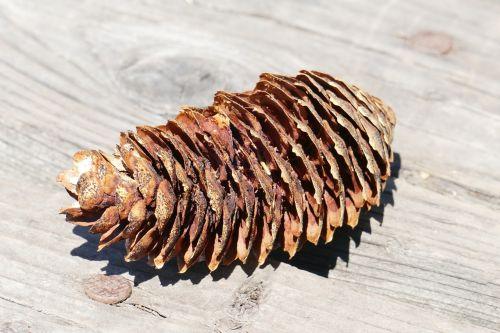 pine cones nature wood