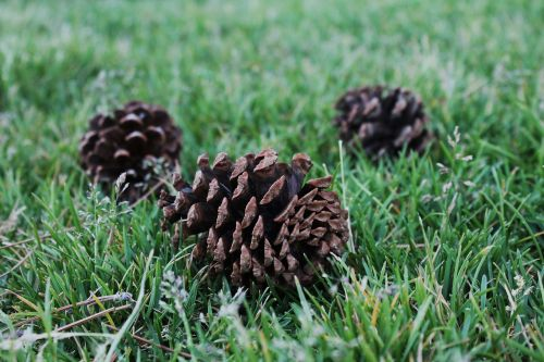 pine cones botanical nature