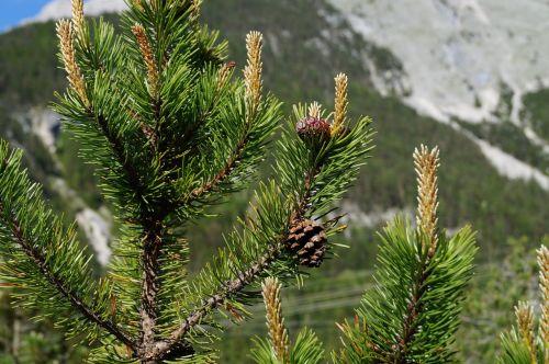 pine cones tree fir