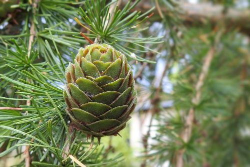 larch cones tap green larch