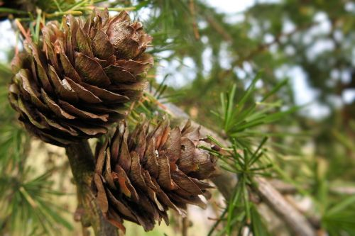 larch cones brown tap larch