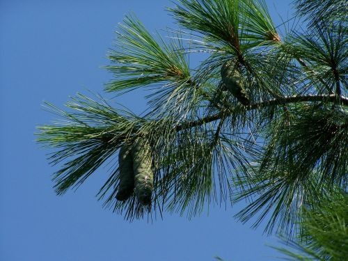 pine cones green immature
