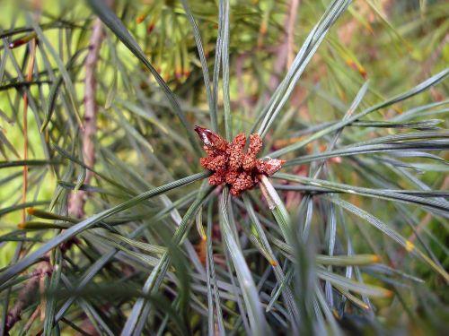 pine cones pine miniature
