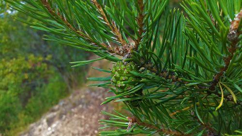 pine cones pine needles