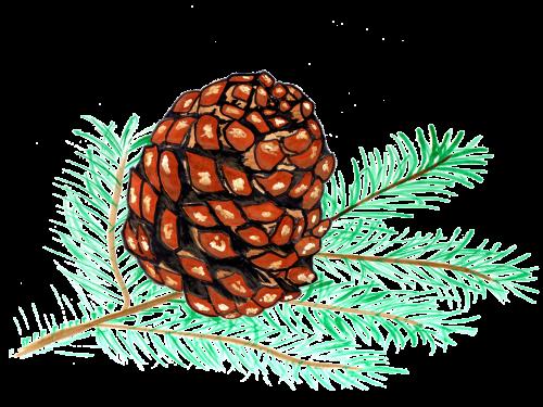 pine cones pine watercolor