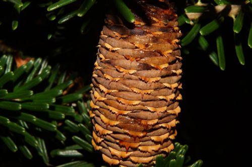 pine cones fir tannenzweig