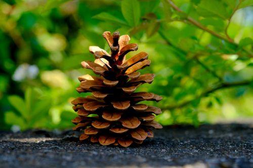 pine cones pine tree