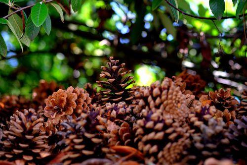 pine cones many pine