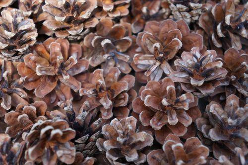 pine cones brown tap