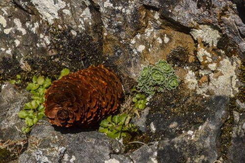pine cones tap fir
