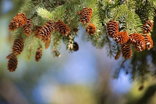 pine cones pine branch text area