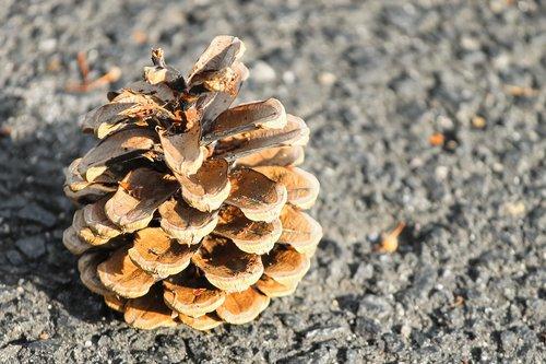 pine cones  pine  nature