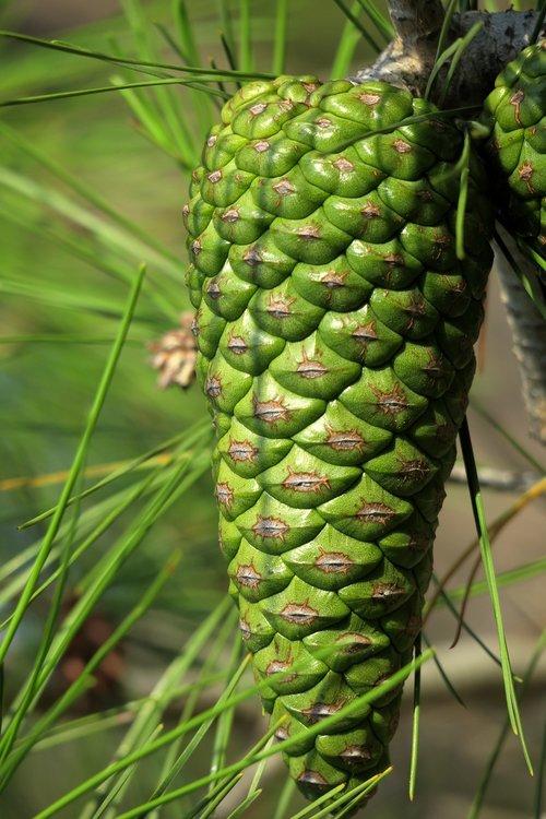 pine cones  green  closed