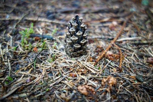 pine cones  tap  forest floor
