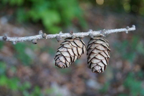 pine cones  spruce  brown