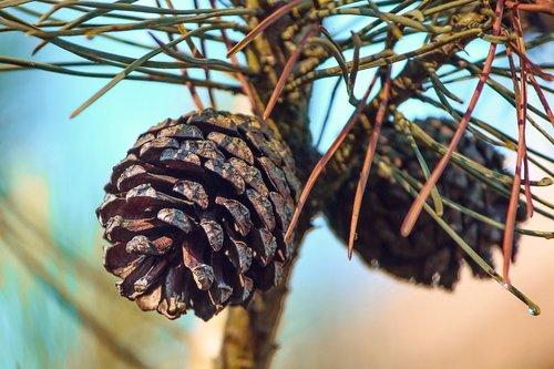 pine cones  pine  conifer