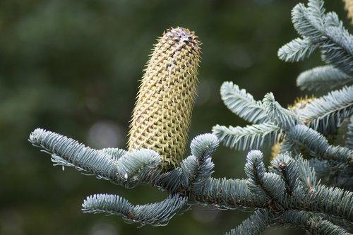pine cones  fir tree  silver fir