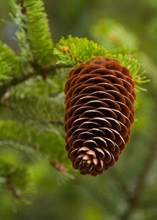 pine cones  spruce  tap