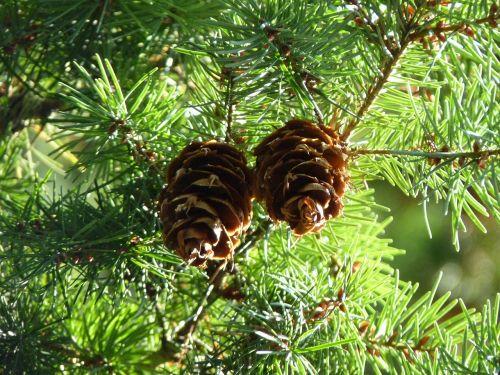 pine cones douglas tap douglas