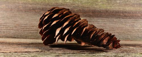 pine cones tap brown