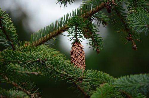 pine cones tannenzweig fir