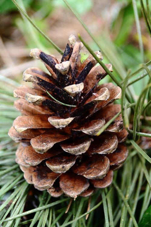 pine cones pine tap