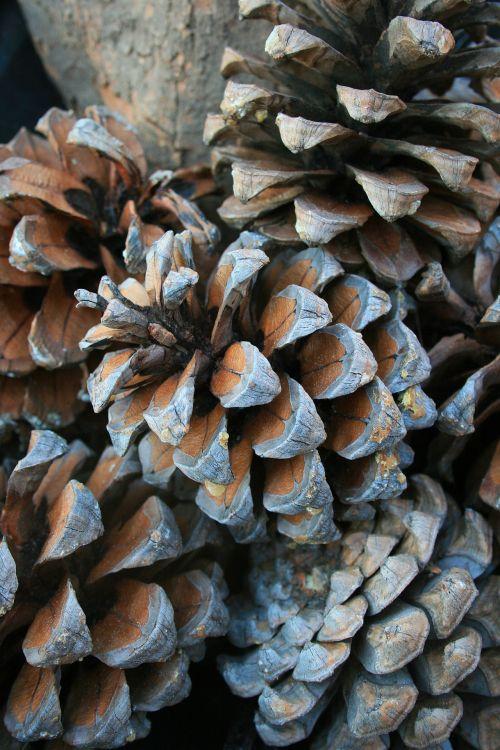 Pine Cones Close