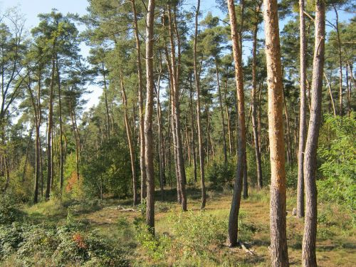 pine forest forest palatinate