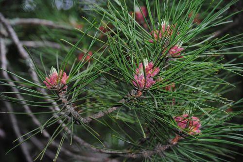 pine needle pine nature