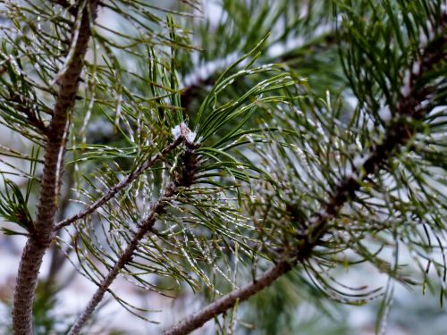 Pine Needle Snow