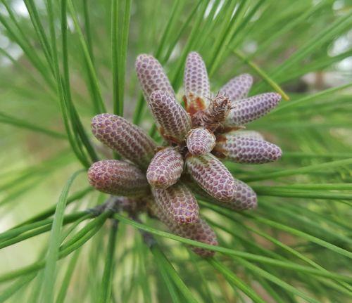 pine needles pine cones pine