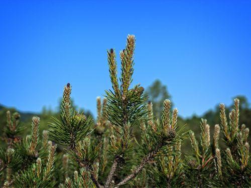 pine needles dwarf pine needle tip
