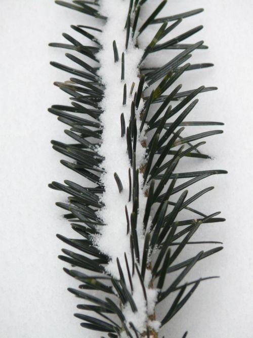pine needles tannenzweig needles