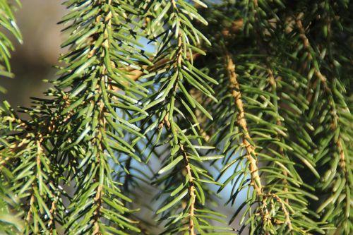 pine needles fir needles