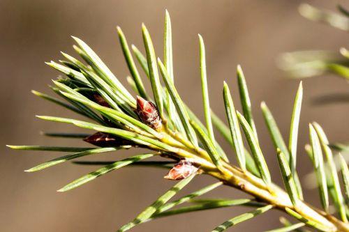 pine needles spring frühlingsanfang