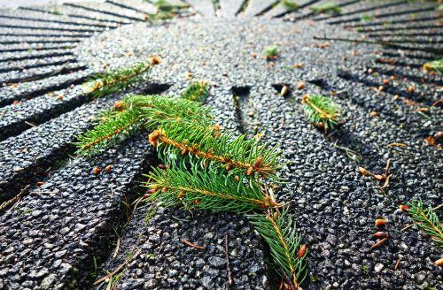 pine needles pine tree branch
