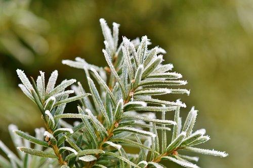 pine needles  spruce  needles