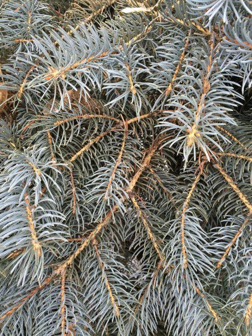 pine needles fir spruce