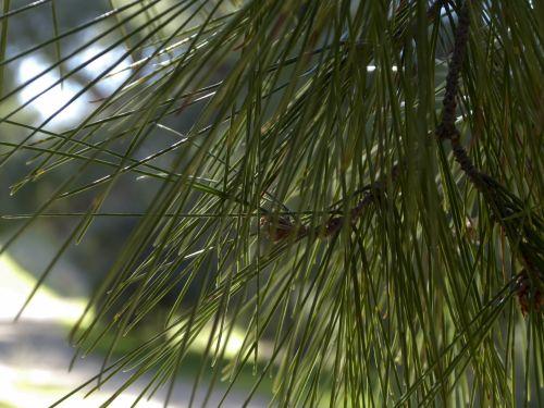 Pine Needles Closeup Background