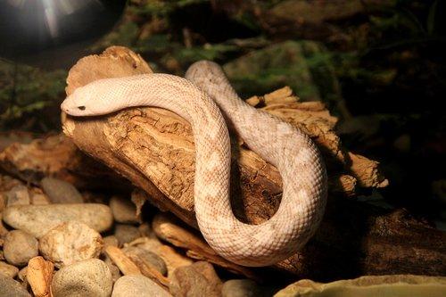 pine snake  pituophis melanoleucus  snake