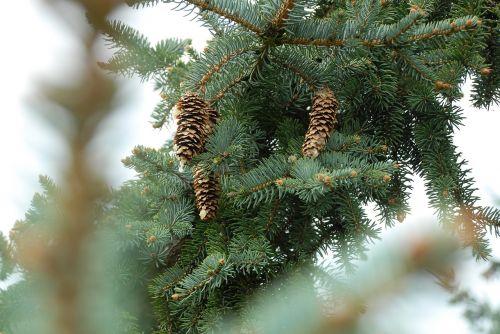 pine tree pine cones pine needles