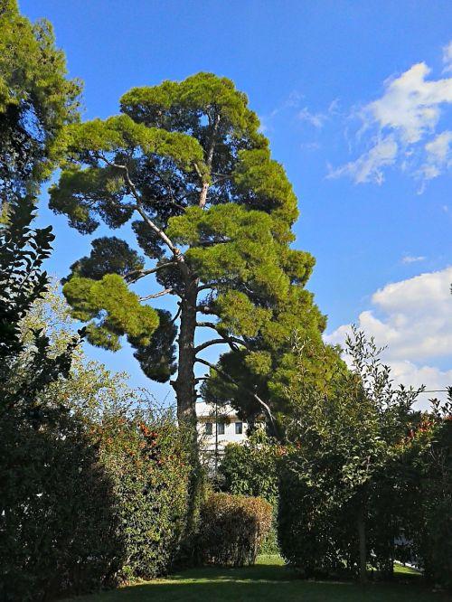 pine tree trees tall trees