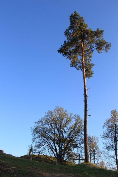 pine tree pine scots pine