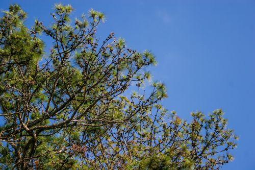 pine tree pine branch pine