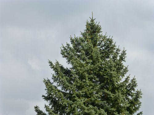 pine tree fir tree fir