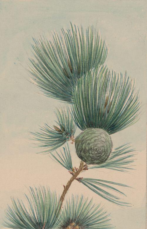 Pine Tree Cone & Needles (2)